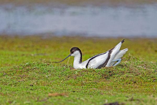 Säbelschnäbler (Recurvirostra avosetta) auf dem Nest.