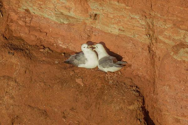 Eissturmvogel (Fulmarus glacialis)  Brutpaar im Helgoländer Lummenfelsen