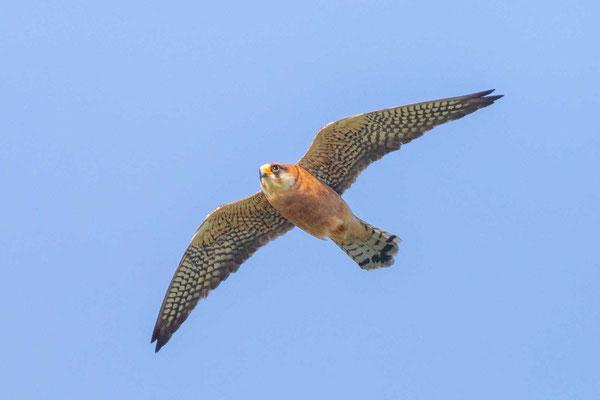 Weiblicher Rotfußfalke (Falco vespertinus) Flugbild