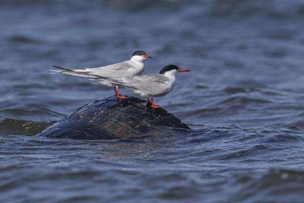 Flussseeschwalbe (Sterna hirundo) im rumänischen Donaudelta.