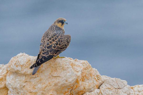 Junger Eleonorenfalke (Falco eleonorae)