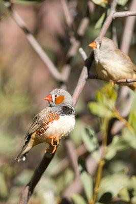 Männlicher und Weiblicher Zebrafink (Taeniopygia guttata)