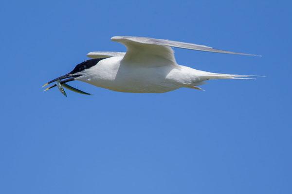 Brandseeschwalbe (Thalasseus sandvicensis), im Flug mit Fisch im Schnabel.