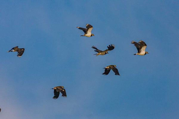 Kiebitz (Vanellus vanellus) im Flug