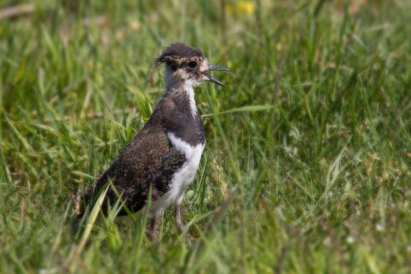 Kiebitz (Vanellus vanellus), nicht flügger Jungvogel