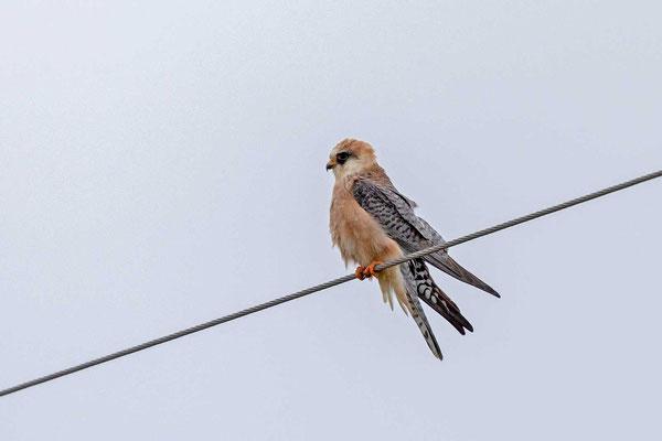Weiblicher Rotfußfalke (Falco vespertinus)