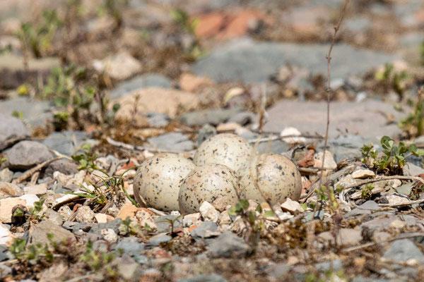 Flussregenpfeifer (Charadrius dubius) Gelege in einem Steinbruch