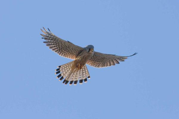 Turmfalke (Falco tinnunculus), rüttelt