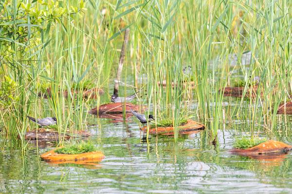 Trauerseeschwalbe (Chlidonias niger niger); Brutkolonie am Partsteiner See in Brandenburg