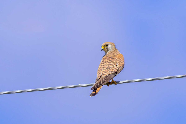 Rötelfalke (Falco naumanni), Weibchen