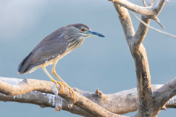 Junger Nachtreiher (Nycticorax nycticorax)