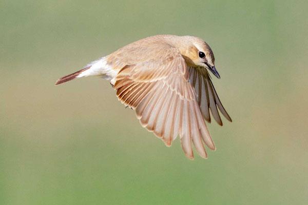 Isabellsteinschmätzer (Oenanthe isabellina) im Flug