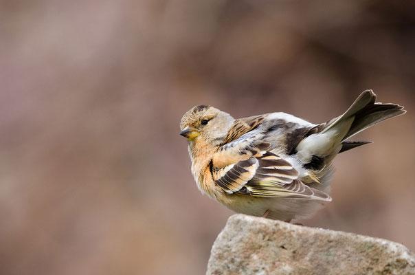Bergfink (Fringilla montifringilla), Foto: Viola Wege
