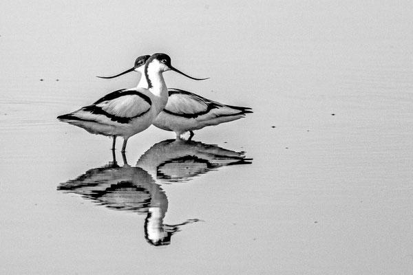 Säbelschnäbler (Recurvirostra avosetta) in schwarz-weiß.