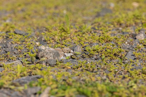 Flussregenpfeifer (Charadrius dubius), Pulli, drückt sich bei Gefahr auf den Boden.