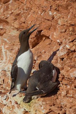Ein Brutpaar Trottellummen (Uria aalge) im Lummenfelsen von Helgoland