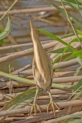 Zwergdommel (Ixobrychus minutus) in Pfahlstellung