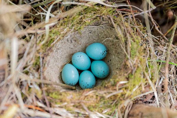 Nest einer Singdrossel (Turdus philomelos) mit 5 Eiern