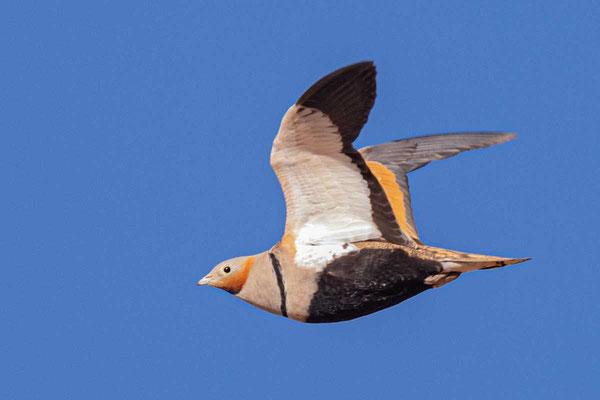 Sandflughuhn (Pterocles orientalis), Männchen