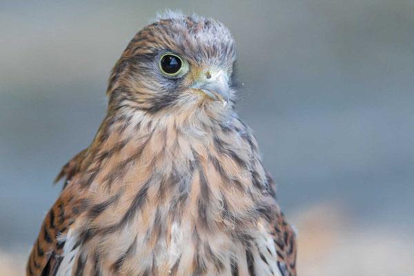 Turmfalke (Falco tinnunculus), Jungvogel gerade flügge