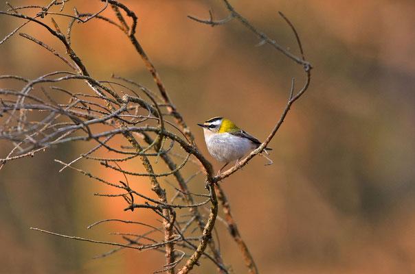 Sommergoldhähnchen (Regulus ignicapilla), Foto: Viola Wege