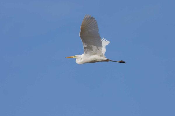 Silberreiher (Ardea alba alba) im Flug