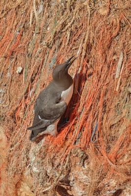 Eine Trottellumme (Uria aalge) hat sich in den Fischnetzen im Brutfelsen von Helgoland verfangen.