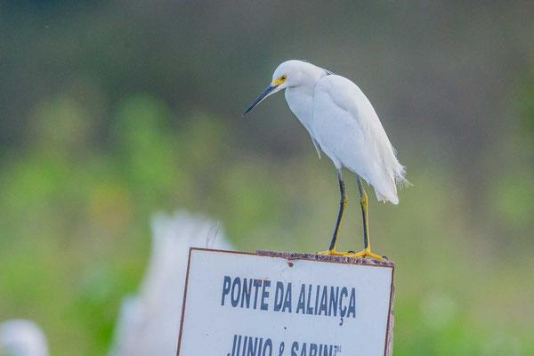 Schmuckreiher (Egretta thula) auf einem Schild im Pantanal