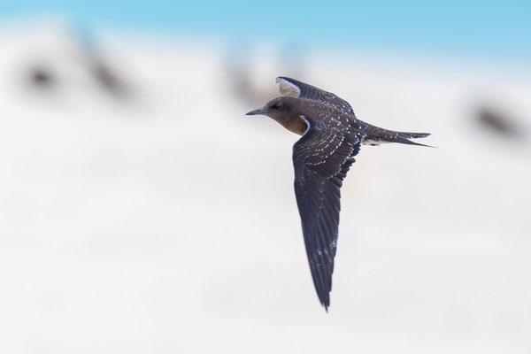 Flugbild einer Rußseeschwalbe (Onychoprion fuscatus), flügger Jungvogel auf Michaelmas Cay.