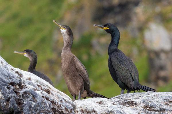 Krähenscharbe (Phalacrocorax aristotelis), Jungvogel und Altvogel