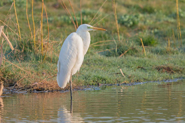 Silberreiher (Ardea alba alba) stehend am Gewässerrand