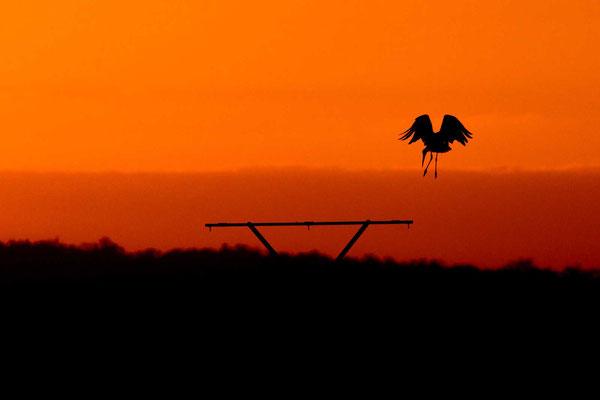 Weißstorch (Ciconia ciconia) landet im Sonnenuntergang