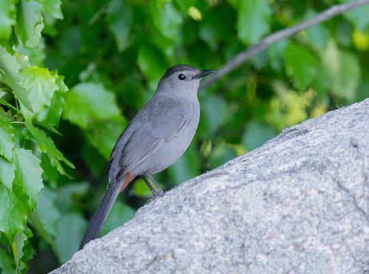 Katzenvogel (Dumetella carolinensis)