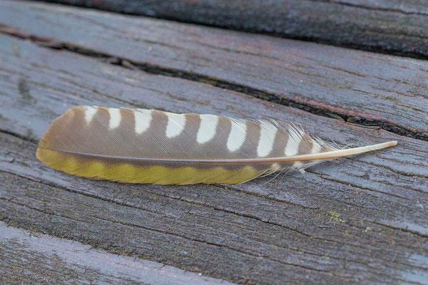 Grünspecht (Picus viridis), Feder