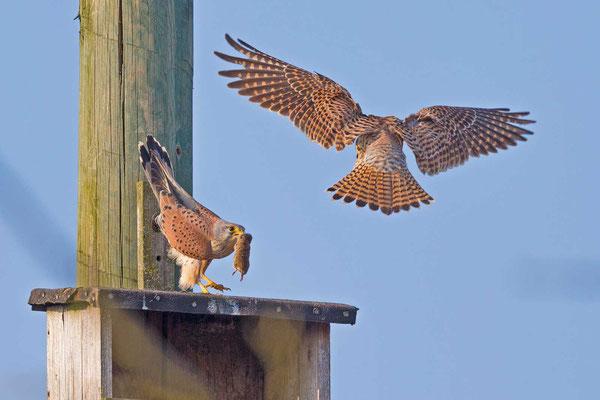 Turmfalke (Falco tinnunculus), Männchen und Weibchen bei der Balz