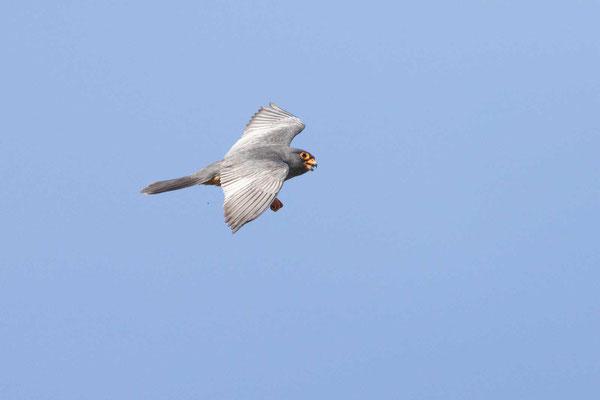 Männlicher Rotfußfalke (Falco vespertinus) fängt Insekten in der Luft