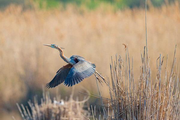 Purpurreiher (Ardea purpurea) fliegt vom Nest auf.
