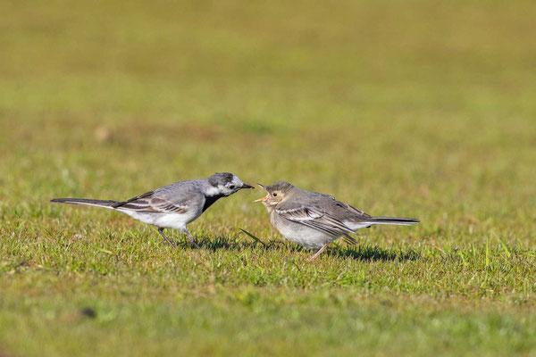 Bachstelze (Motacilla alba), Weibchen füttert Jungvogel