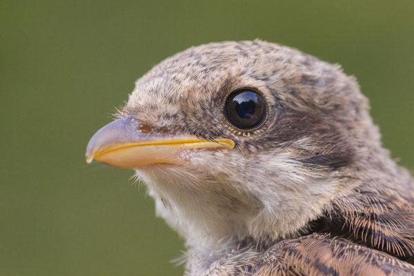 Neuntöter (Lanius collurio), flügger Jungvogel