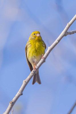 Girlitz (Serinus serinus), singendes Männchen