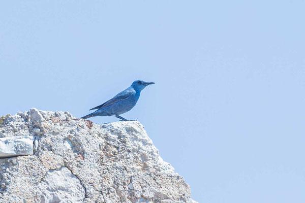 Blaumerle (Monticola solitarius)
