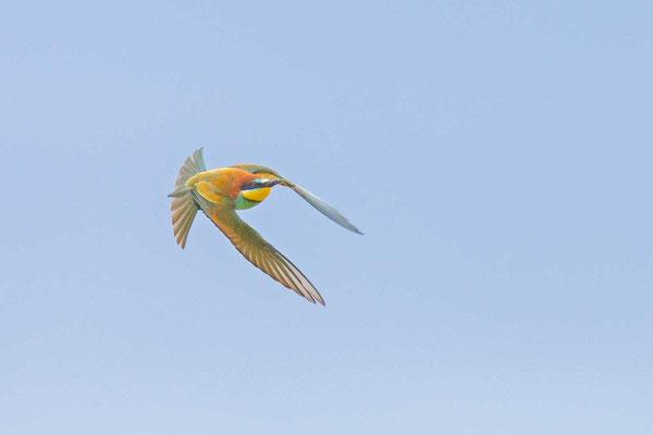 Bienenfresser (Merops apiaster), Flugbild schräg von vorne