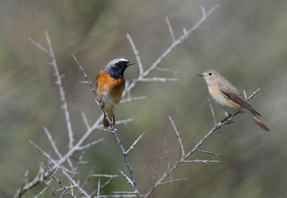 Gartenrotschwanzz (Phoenicurus phoenicurus), Männchen und Weibchen. Foto: Viola Wege