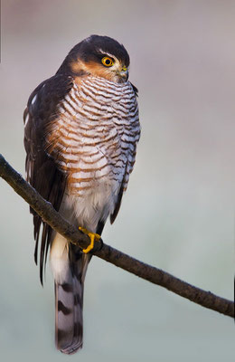 Sperber (Accipiter nisus), Männchen, Foto: Viola Wege