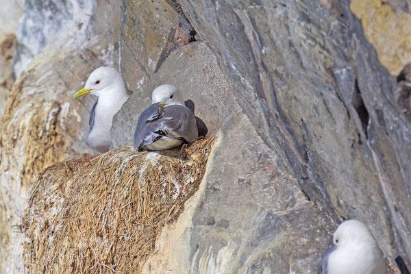 Dreizehenmöwe (Rissa tridactyla) Brutpaar auf der norwegischen Insel Hornøya