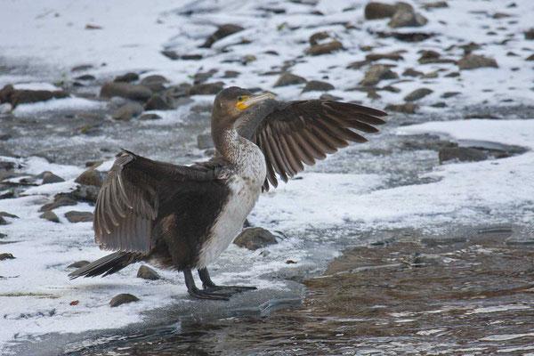 Kormoran (Phalacrocorax carbo), Jungvogel beim trocknen des Gefieders