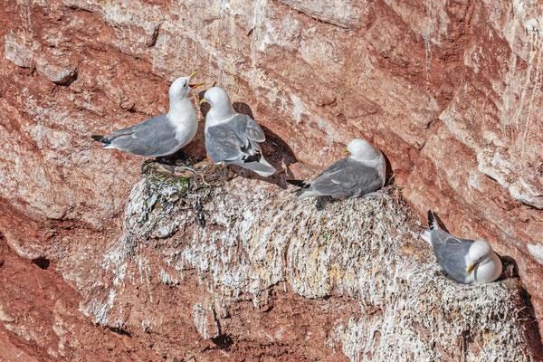Dreizehenmöwe (Rissa tridactyla) Brutpaar auf Helgoland