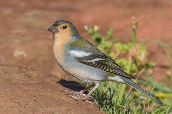 Madeira-Buchfink (Fringilla coelebs maderensis)