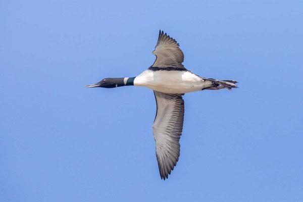 Fliegender Eistaucher (Gavia immer)
