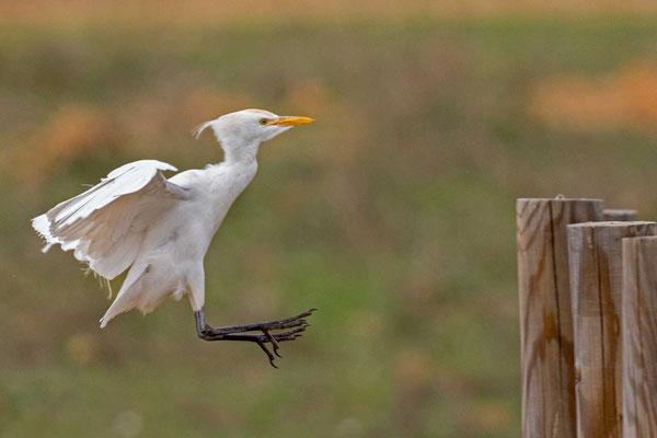 Kuhreiher (Bubulcus ibis) im anflug